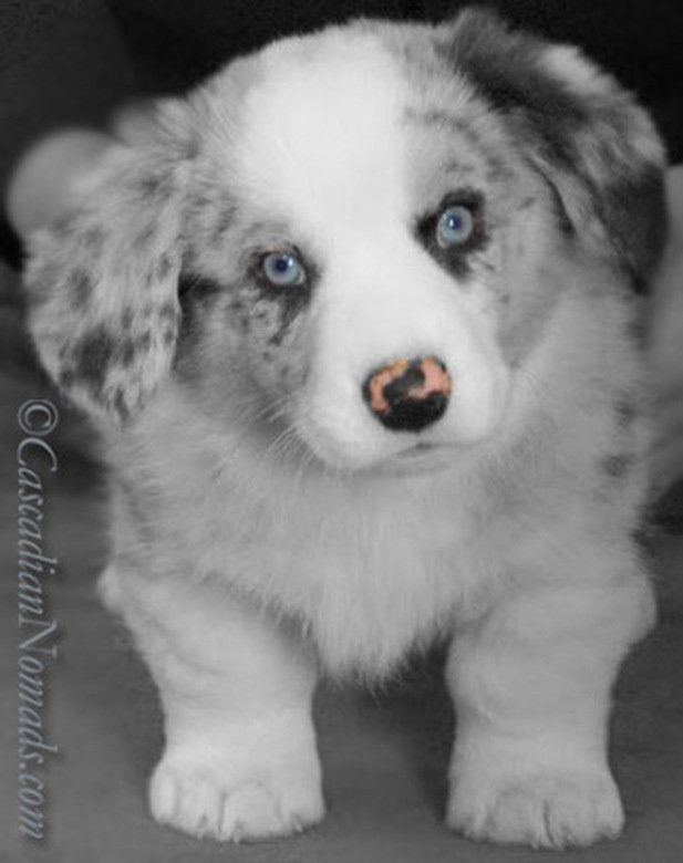 Black and white photograph of blue eyed, butterfly nosed Cardigan Blue Merle puppy