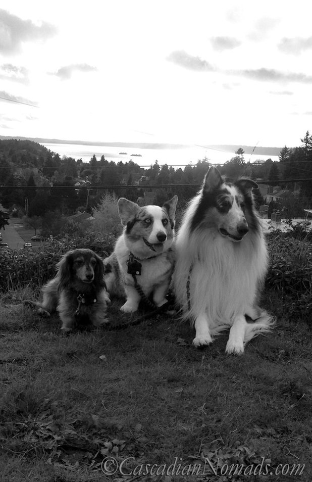 A Beautiful Black & White Photograph of Three Dogs Above Puget Sound as Two Ferries Cross Paths