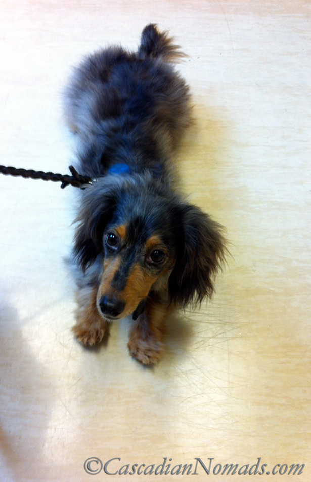 Long haired miniature dachshund, Wilhelm, has the stress taken out of vet visits because he goes on a regular basis. #GetHealthyHappy