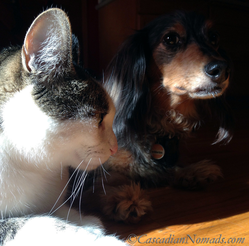 Cat selfie by Amelia featuring black and tan dapple miniature dachshund Wilhelm