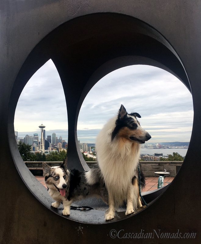 Blue merle Cardigan Welsh Corgi dog Brychwyn, harlequin blue merle rough collie dog Huxley and the Space Needle framed by the sculpture