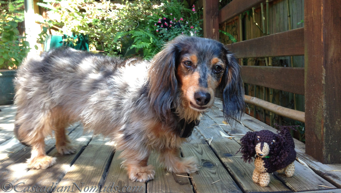 Cascadian Nomads miniature long haired dachshund, Wilhelm, with his crocheted mini