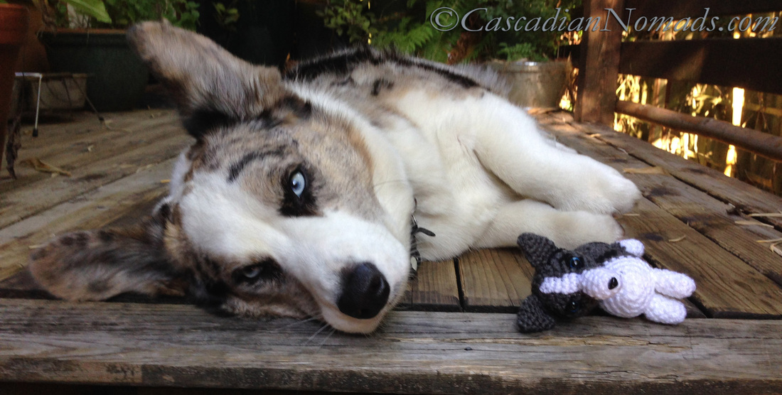 Cascadian Nomads cardigan welsh corgi, Brychwyn, with his crocheted mini