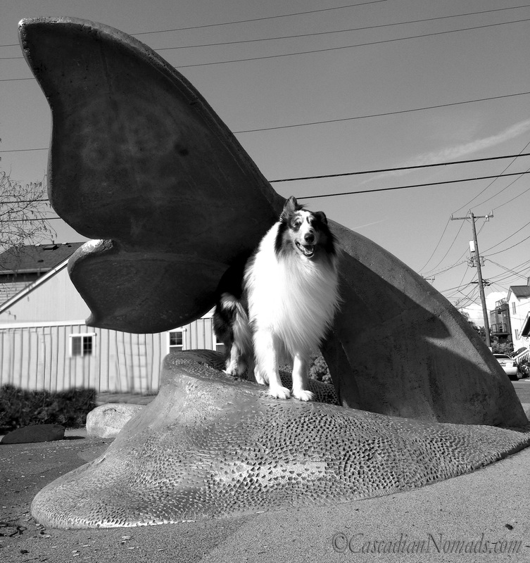 Harlequin blue merle rough collie Huxley poses for a beautiful black and white photo with the Whale Tail scupture at Whale Tail Park in West Seattle