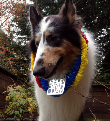 Happy Birthday party collie Huxley