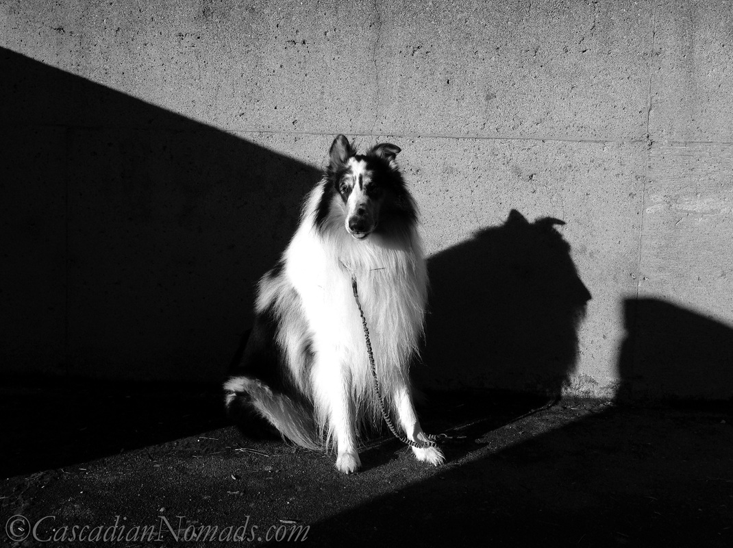 Black and white photo of rough collie dog Huxley looking demur in the sun with a classic Lassie dog shadow