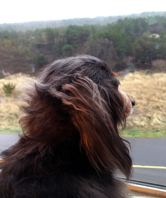 Dog portrait of long haired miniature dachshund Wilhelm gazing out the window of a pet friendly hotel in Long Beach, Washington, Cascadia. #DogwoodWeek7 #Dogwood52