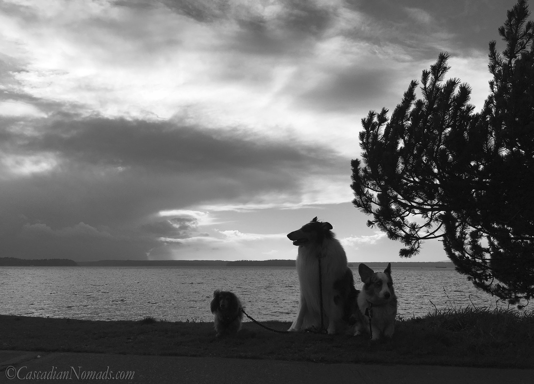 Three dogs and a Puget Sound storm: miniature dachshund, rough collie and Cardigan Welsh corgi dog storm watchers at Emma Schmitz Memorial Overlook, West Seattle, Washington, Cascadia. #DogwoodWeek4 #Dogwood52