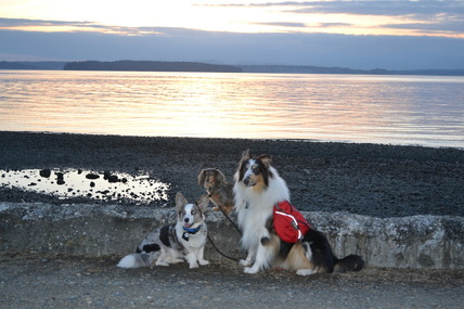 Corgi, dachshund and collie dogs during a beautiful Pacific Northwest Puget Sound sunset at Lowman Beach Park, West Seattle, Washington, Cascadia