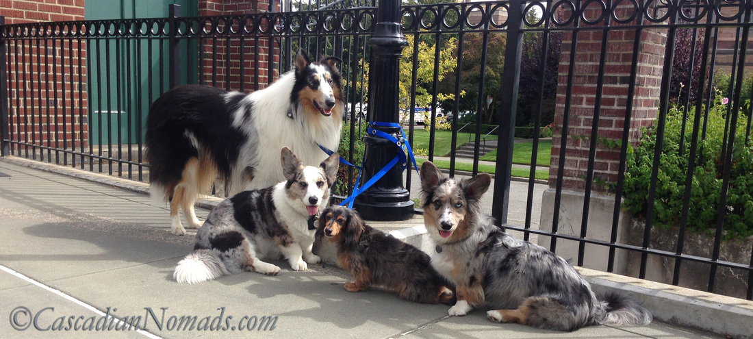 SnapLeash: Four dogs safely tied with two leashes. Never leave dogs unattended while tied!!!