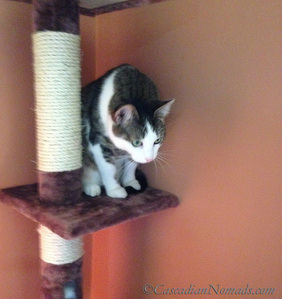 Happy cat Amelia viewing the room from high upon her floor to ceiling tree. #GetHealthyHappy