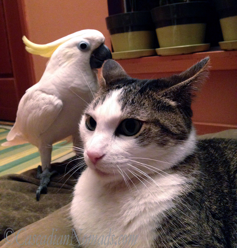 An Abyssinian tabby cat realizes that there is a Triton cockatoo photobomb in her selfie photo.