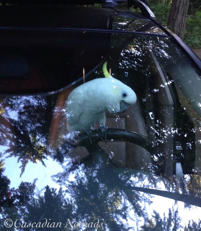 Triton cockatoo Leo at the wheel of the car