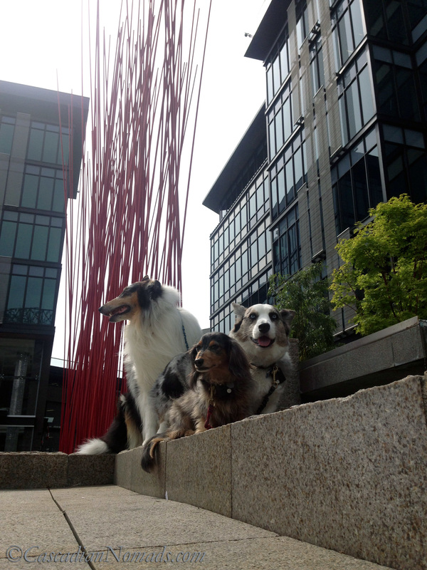 Rough collie Huxley, Cardigan Welsh Corgi Brychwyn and miniature dachshund Wilhelm with Red Stix by Konstantin Dimopoulos between the buildings at Home Plate Center, Seattle, Washington, Cascadia