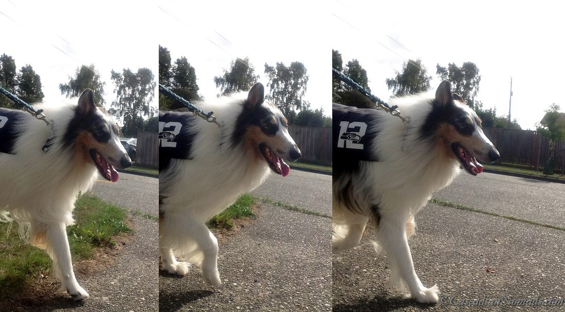 12th Pup rough collie dog Huxley smiles as he strolls the Seattle streets on a dog walk.