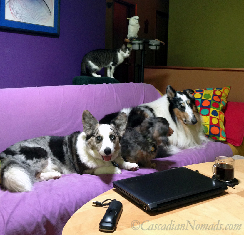 Black coffee, laptop and phone surrounded by Cardigan Welsh corgi Brychwyn, miniature dachshund Wilhelm, rough collie Huxley, cat Amelia and cockatoo Leo.