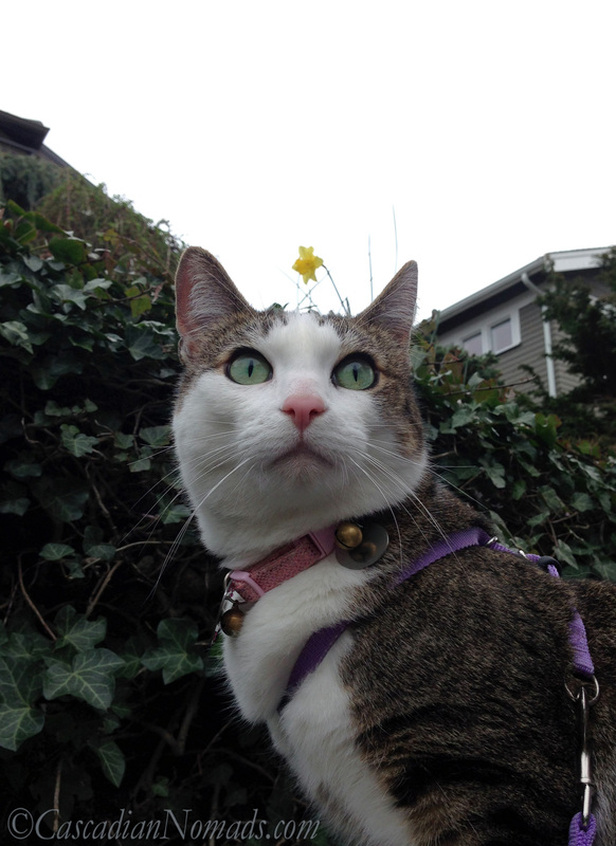 Adventure cat Amelia poses proudly for a selfie while out on a recent walk