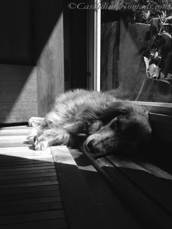 Miniature Long Haired Dachshund, Wilhelm, Basking In a Sun Puddle (Beautiful Black & White Photography from Cascadian Nomads)