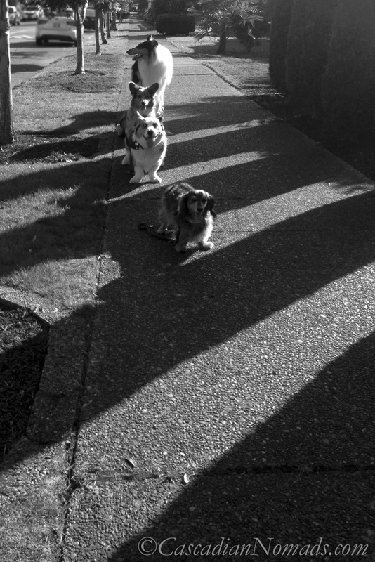 Black and white photographs of four dogs on a shadow striped sidewalk
