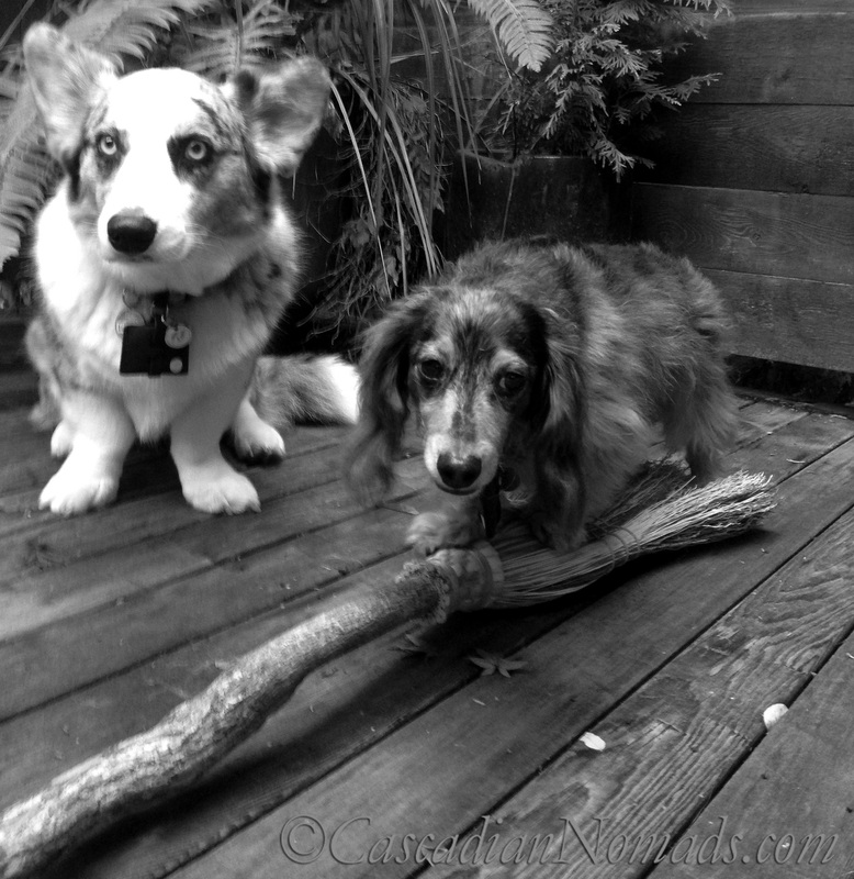 Cardigan Welsh corgi Brychwyn and miniature dachshund Wilhelmtry their paws at flying on a witches broom: Black and White Photography of Dogs.