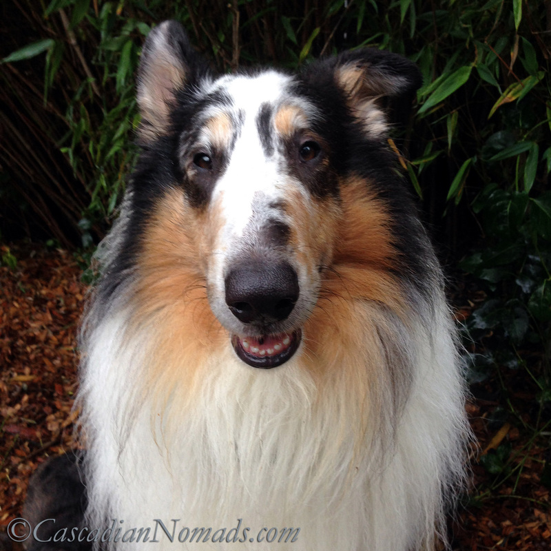 Rough collie Huxley's innocent face: Responsible Pet Owners Month means accepting responsiblity for pet behavior, good and bad.