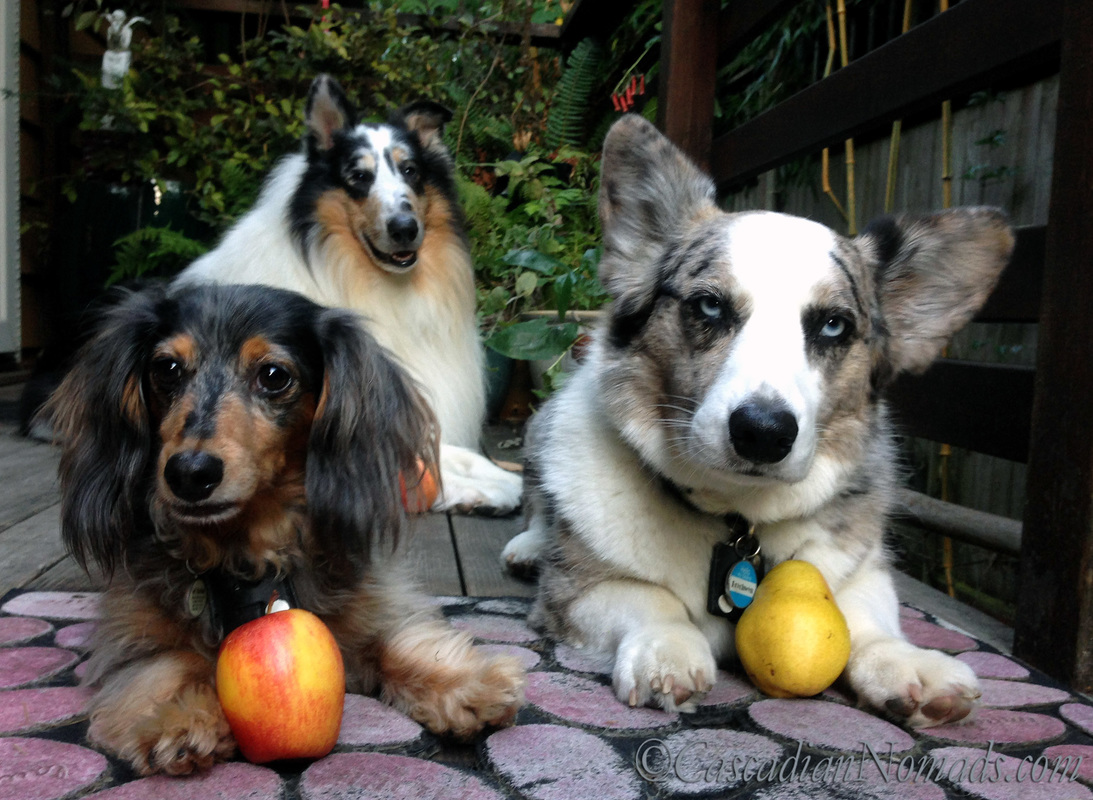 Dogs Ready For School: Miniature Dachshund Wilhelm and Rough Collie Huxley have apples for the teacher but Cardigan Welsh Corgi Brychwynprefers to bring a pear. Positive Reinforcement Training makes dogs smarter!