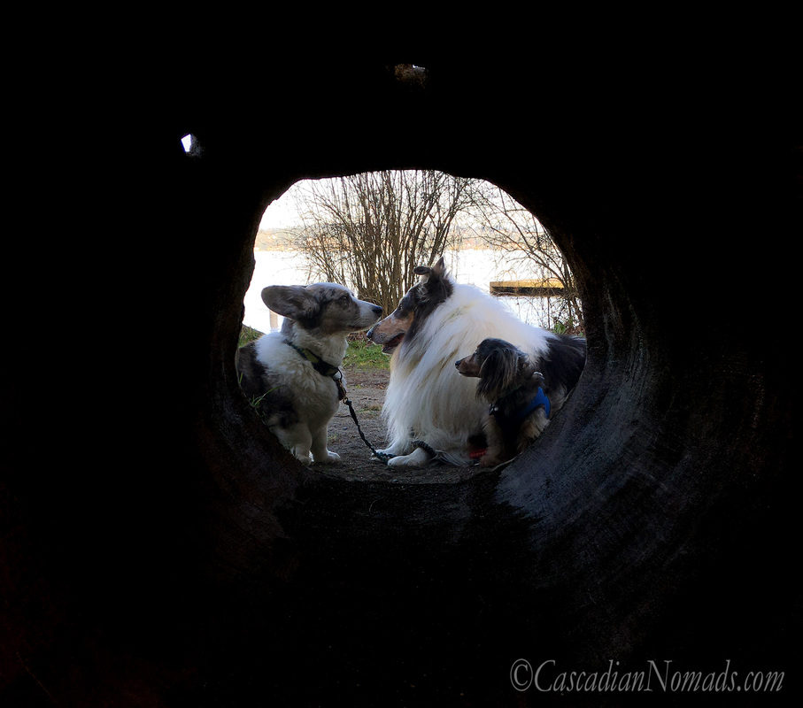 Gorgeous photo of dogs at the end of a tunnel: Cardigan Welsh Corgi Brychwyn, rough collie dog Huxley, and miniature dachshund dog Wilhelm are the light at the end of the tunnel. #DogwoodWeek9 #Dogwood52