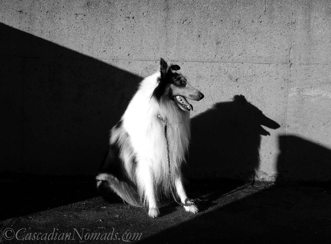 Black and white photo of rough collie dog Huxley in sun and shadow looking to the East