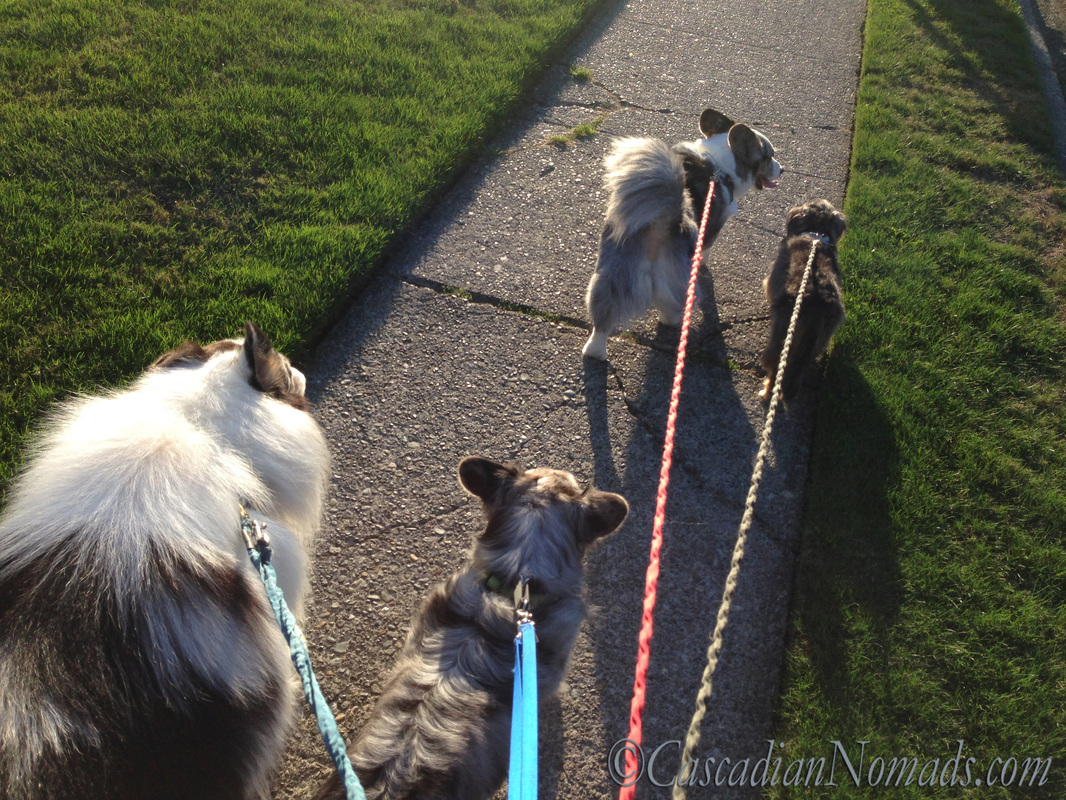 Two blue merle cardigan welsh corgis, a rouch collie and a miniature dachshund enjoyng #DogWalkingWeek fit dog time.