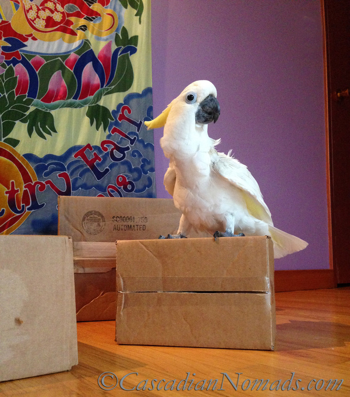 Best Parrot Training Tool: A Cardboard Box
