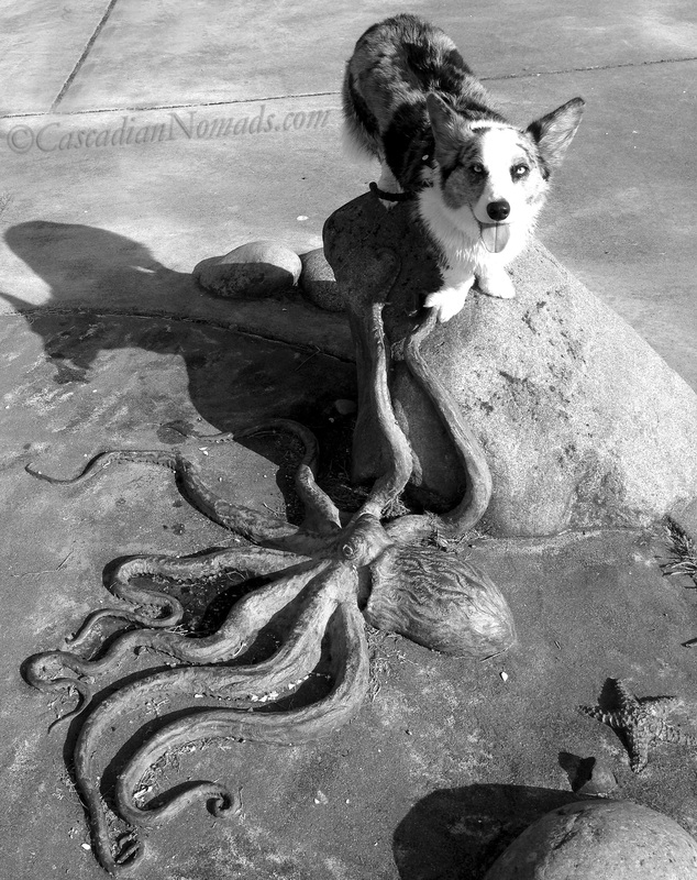 Blue merle Cardigan Welsh corgi Brychwyn poses for a black and white photograph with an octopus sculpture at Charles Richey Sr Viewpoint in West Seattle