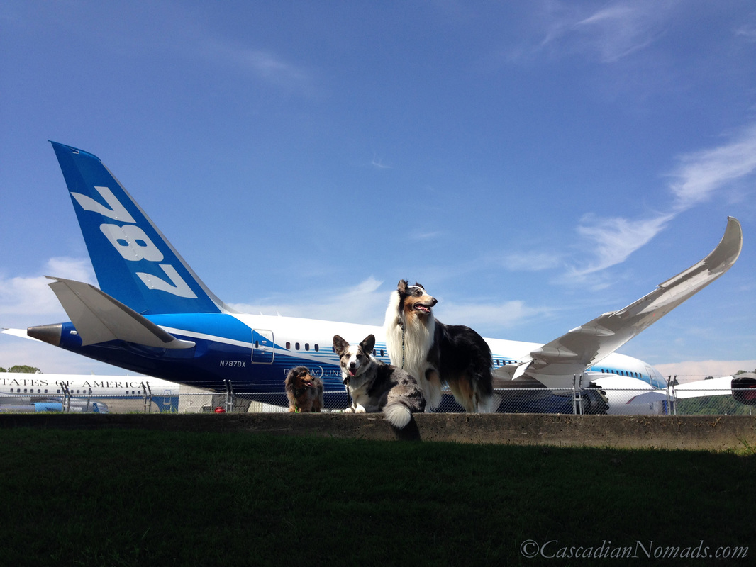 Miniature dachshund, Cardigan Welsh Corgi and rough collie dogs with The Boeing 787 Dreamliner in The Museum of Flight Air Park, Seattle, Washington, Cascadia.