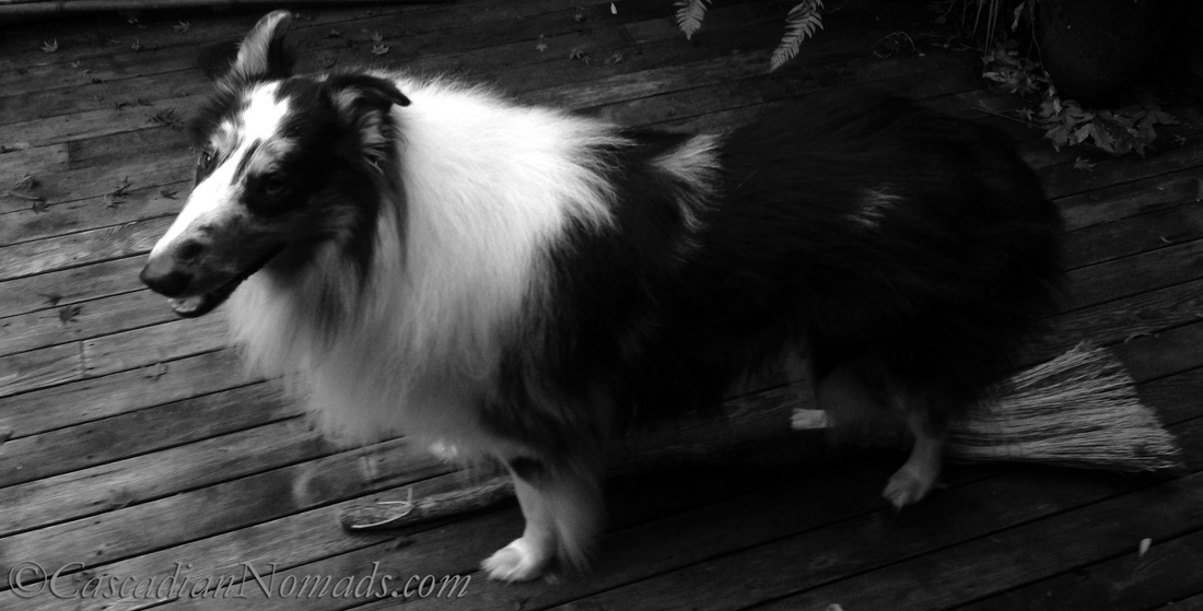 Rough collie dog Huxley his paws at flying on a witches broom: Black and White Photography of Dogs.