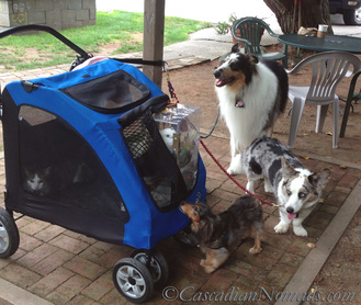 Positive Reinforcement Training For Five Pets In Six Steps | #MultiPetMania: Adventure cat Amelia and Triton Cockatoo Leo (in stroller) with dogs rough collie Huxley, Cardigan Welsh corgi Brychwyn and miniature dachshund Wilhelm.