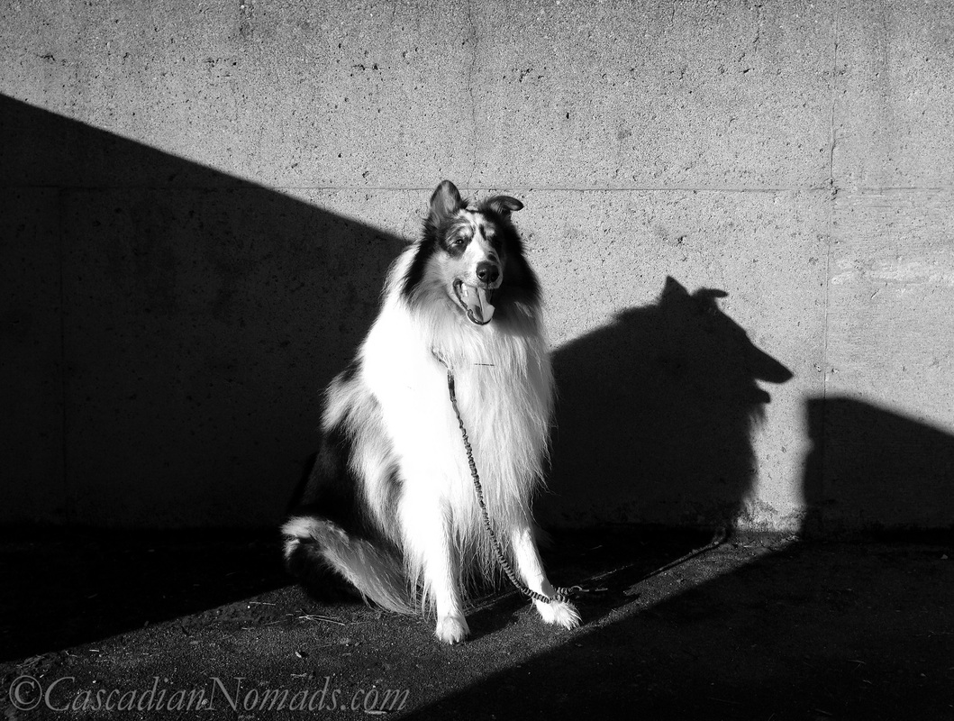 Black and white photo of rough collie dog Huxley in sun and shadow looking at the camera