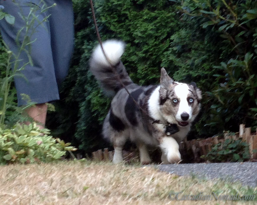 Blue Merle Cardigan Welsh corgi demonstrates a happy, loose leash walk