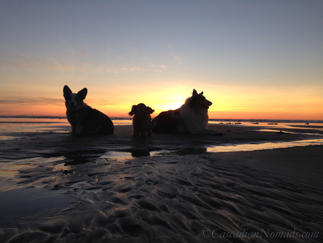 Cascadian Nomads Canines silouetted against the sunset, Long Beach, Washington: cardigan welsh corgi Brychwyn, miniature long haired dachshund Wilhelm & rough collie Huxley