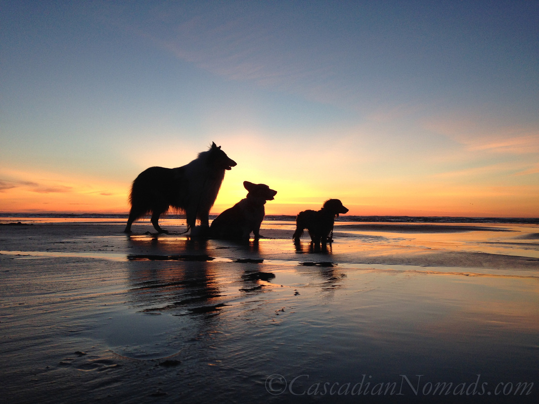 Cascadian Nomads Canines silouetted against the sunset, Long Beach, Washington: rough collie Huxley, cardigan welsh corgi Brychwyn & miniature long haired dachshund Wilhelm