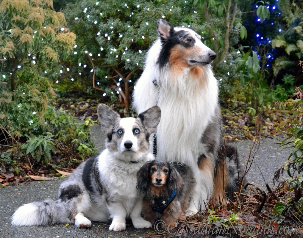 Dogs, Bokeh and Holiday Cheer: Three dogs, Cardigan Welsh Corgi Brychwyn, miniature long haired dachshund Wilhelm and rough collie Huxley, pose for a holiday light display photo
