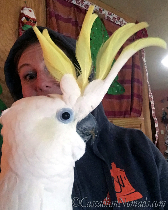 Triton Cockatoo Leo with his crest up and his best human friend peeking through.