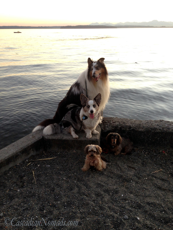 Four dogs on a Puget Sound sea wall