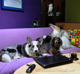 The joys of working from home with pets: Cardigan Welsh corgi Brychwyn, miniature dachshund Wilhelm, rough collie Huxley, cat Amelia and cockatoo Leo.