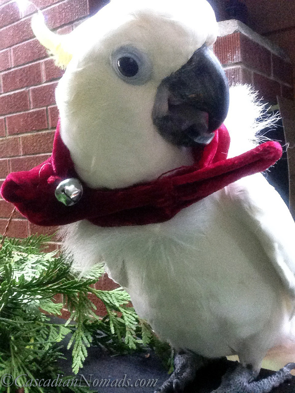 Cockatoo Leo with a Santa hat scarf