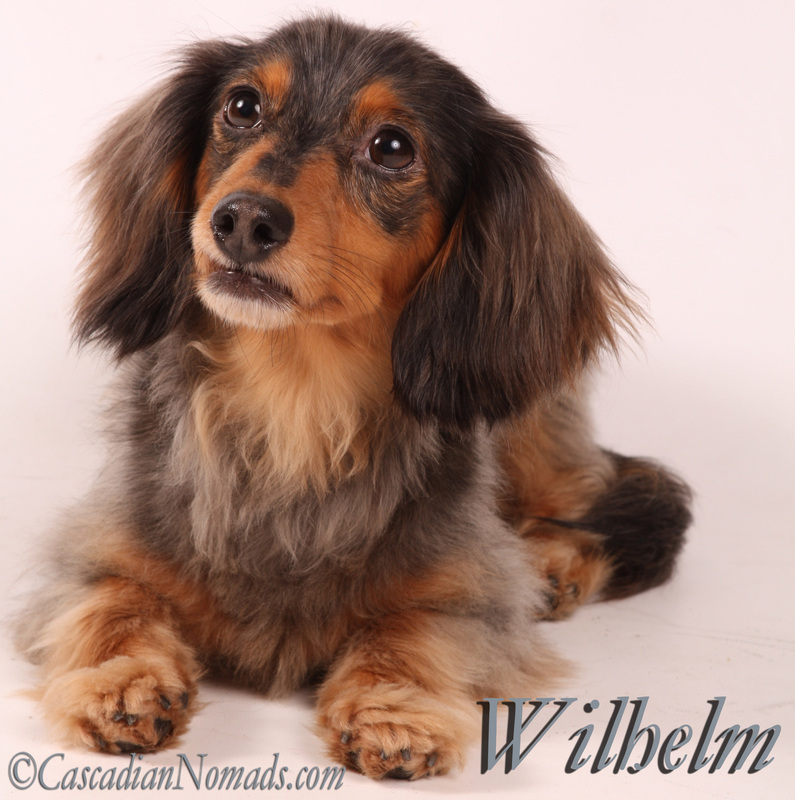 Cascadian Nomads black and tan dapple miniature dachshund