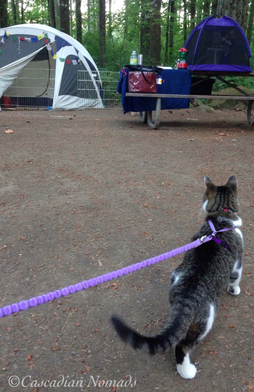 Cool camping cat Amelia safely struts around the campsite wearing her leash and harness.