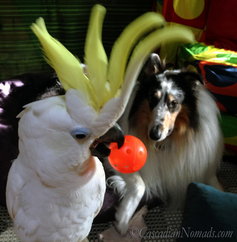Positive Reinforcement Training For Five Pets In Six Steps | #MultiPetMania: Training triton cockatoo Leo with his ball while rough collie dog Huxley watches calmly from his bed.