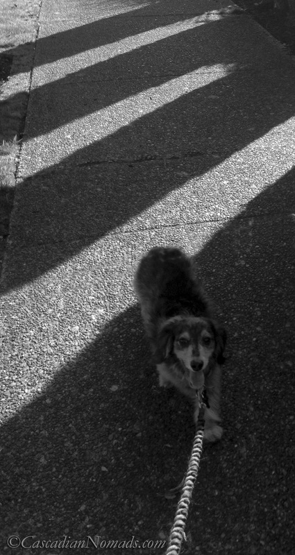 Black and whote photo of a dachshund walking on a shadow striped sidewalk.