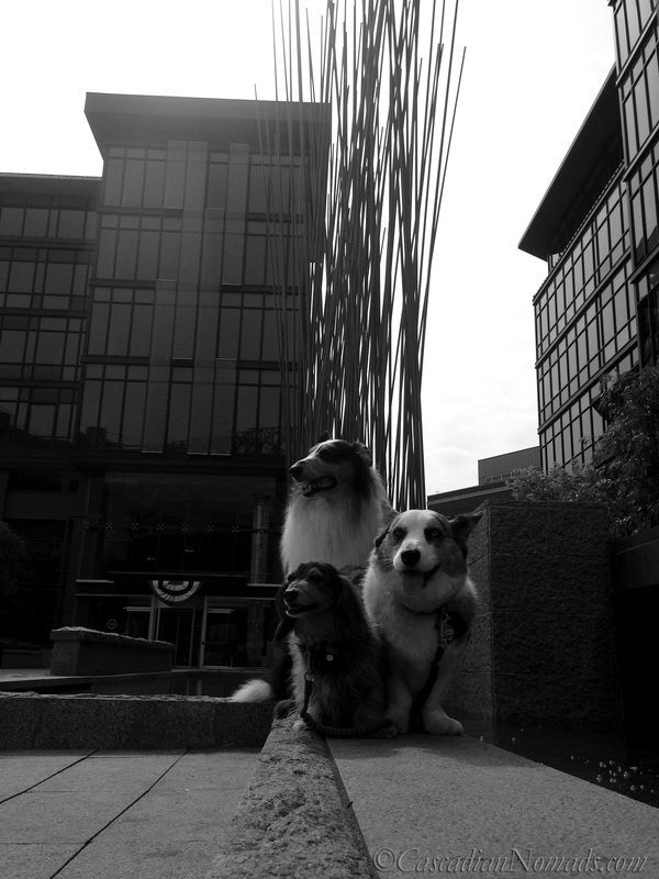 Rough collie Huxley, Cardigan Welsh Corgi Brychwyn and miniature dachshund Wilhelm in black and white with Red Stix by Konstantin Dimopoulos at Home Plate Center, Seattle, Washington, Cascadia