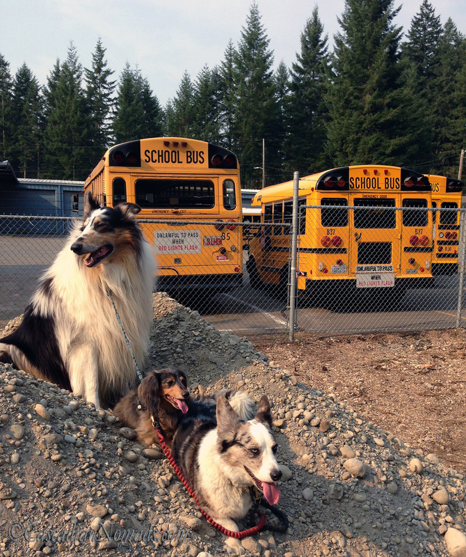 Dogs in a line, school buses in a row: miniature dachshund Wilhelm, Cardigan Welsh corgi Brychwyn and rough collie Huxley take a road trip break to pose for a school bus photo