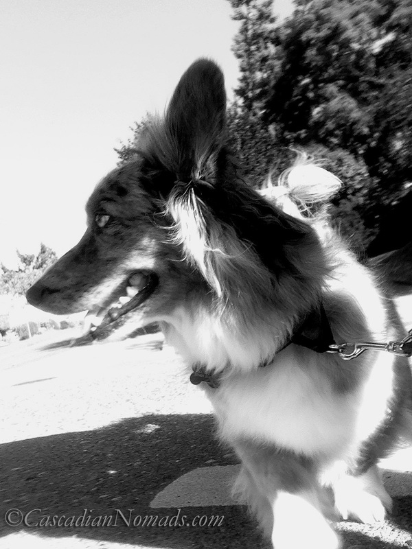 Black & White #DogWalkingWeek cardigan welsh corgi photo